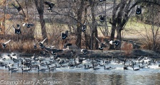 geese-611