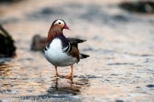 mandarin-duck-103