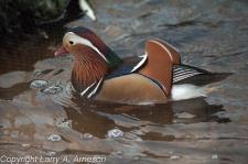 mandarin-duck-48
