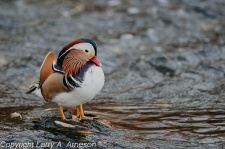 mandarin-duck-70